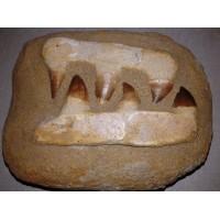 Зъби от мoзaзавър No.5