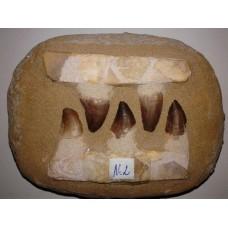 Зъби от мезозавър No.2