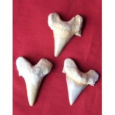 Зъби от акула -  големи
